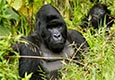 Gorilla Treking Expeditie in Uganda Gorile